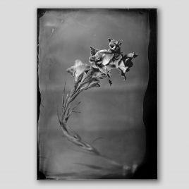 Silver Gladiola