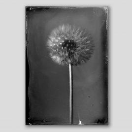Silver Dandelion